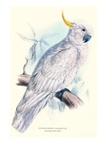 Greater Sulpher-Crested Cuckatoo - Cacatua Galerita