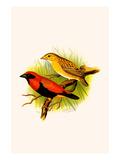 Crimson Crowned Weaver