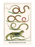 Snakes  Agama Indonedia  Ceylon  Sri Lanka