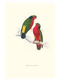 Kuhl's Parakeet - Vini Kuhli
