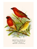 Madagascar Weaver and Comoro Weaver