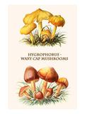 Hygrophorus - Waxy Cap Mushrooms