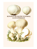 Bovista or Paltry Puffball and Lycoperdon