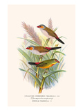 Orange Cheeked Waxbill and Zebra Waxbill