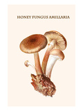 Honey Fungus Amillaria