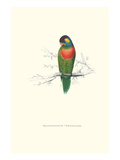 Variegated Parakeet - Trichoglossus Versicolor