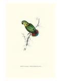 Swindern's Parakeet - Agapornis Swindernianus