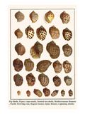 Fig Shells  Papery Rapa Snails  Sootted Tun Shells  Mediterranean Bonnets  etc
