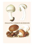 Psalliota Common Mushroom