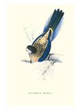 Brown's Parakeet - Platycercus Venustus