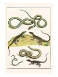Snake  Blind Snake  Lizard  Squamates
