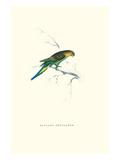 Undulated Parakeet - Nelopsittacus Undulatus