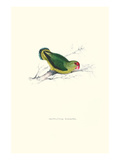 Abyssinian Parakeet - Agapornis Taranta