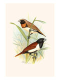 Chestnut Breasted Finch and Three Colored Mannikin