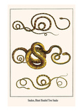 Snakes  Blunt Headed Tree Snake
