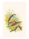 Cordon Bleu or Crimson Eared Waxbill
