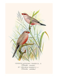 Common African Waxbill and St Helena Waxbill
