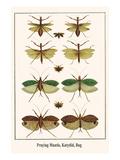 Praying Mantis  Katydid  Bug