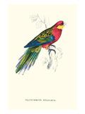 Stanley Parakeet Male - Platycercus Icterotis