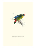 Red-Fronted Parakeet - Loriculus Philippinensis