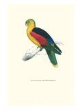 Crimson Winged Parakeet - Aprosmictus Erythropterus