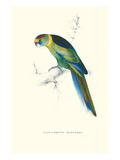 Barnard&#39;s Parakeet - Barnardius Zonarius Barnardi