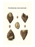 Fossilised Nuts  Acorn and Seeds