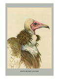White Necked Vulture