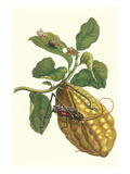 Citron with Monkey Slug and a Harlequin Beetle
