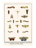 Goat Moth  Caterpillar  Chrysalis  Ichneumon Wasp  Buff-Tip  Cimbicid  Underwing  Clifden Nonpareil
