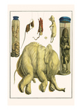 Asiatic Elephant  Human Fetus  Sheep Embryo  Pig Embryo  Mice