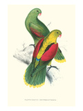 Crimson Winged Parakeet - Aprosmictus Erythropterus