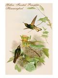 Yellow Fronted Panoplite Hummingbird