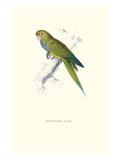 Dwarf Parakeet Macaw - Aratinga Nana