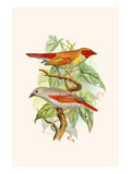 """Red Faced Finch or """"Wiener's Astrild"""" and Crimson Winged Finch"""