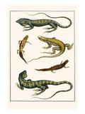 Iguanas  Anoles  Sauria  Amphibia