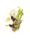 Brown Mandibled Aracari