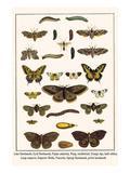 Lime Hawkmoth  Eyed Hawkmoth  Poplar Admirals  Wasp  Swallowtail  Orange Tips  Bath Whites  etc
