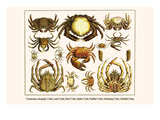 Crustaceans  Decapods  Crabs  Land Crabs  Rock Crabs  Spider Crabs  Fuddler Crabs  etc