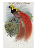 De Vis's Bird of Paradise