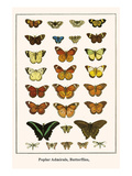 Poplar Admirals  Butterflies