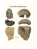Fossil Shells Including Oyster