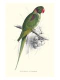 Footed Parakeet - Psittacula Eupatria