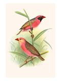 Red Billed Weaver