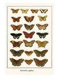 Butterflies  Eggflies