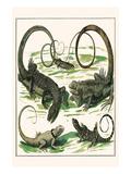 Squamata  Iguana