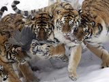 APTOPIX China Siberian Tigers