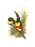 Chestnut Eared Aracari
