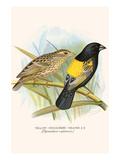 Yellow Shouldered Weaver
