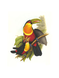 Red Breaster Toucan and Green Billed